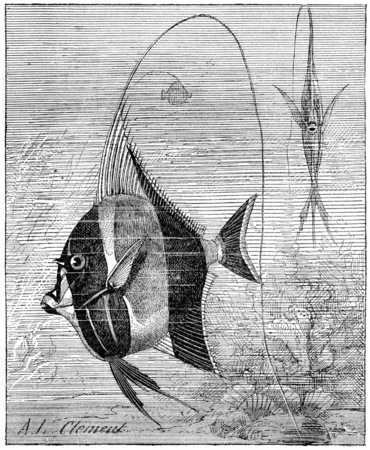 zanclus cornutus: Moorish Idol or Zanclus cornutus, vintage engraved illustration. Dictionary of Words and Things - Larive and Fleury - 1895
