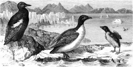 seabird: Guillemot mirror and white penguin macroptera, vintage engraved illustration. Le Tour du Monde, Travel Journal, (1865). Stock Photo