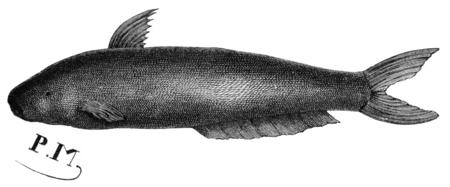 Candiru fish, vintage engraved illustration. Le Tour du Monde, Travel Journal, (1865). Reklamní fotografie