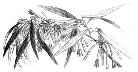 genera: Loranthus Macrosolen, vintage engraved illustration. Le Tour du Monde, Travel Journal, (1865).