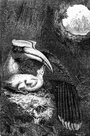 hornbill: Hornbill and her cub, vintage engraved illustration. Le Tour du Monde, Travel Journal, (1872).