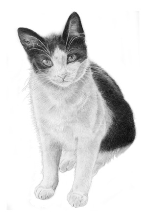 felidae: Black and White Cat, hand sketeched realistic Illustration Stock Photo