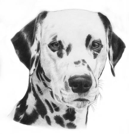 obedient: Dalmatian, hand drawn grayscale head of a dalmation dog illustration. Very realistic. Stock Photo