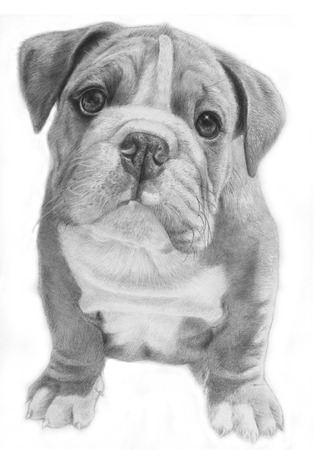 obedient: Cute bulldog hand-drawn illustration, grayscale, facing front