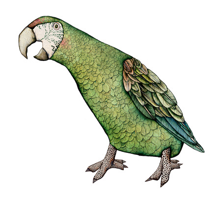macaw: Macaw, milatary green color artistic illustration