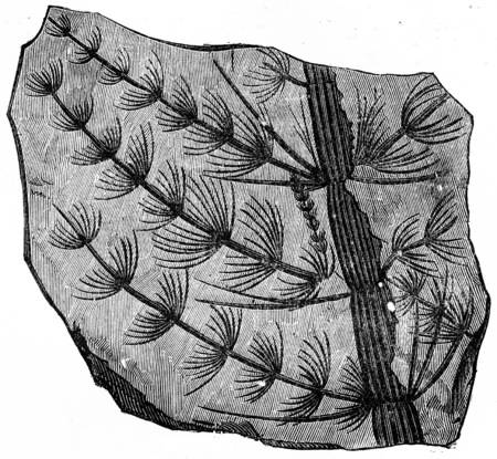 fossil: Fossil branch astrophyllite equisetisformis, vintage engraved illustration. Earth before man – 1886.