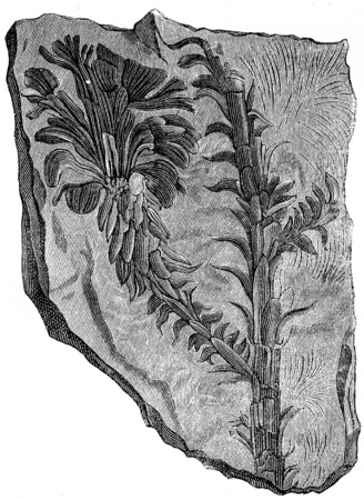 triassic: Voltzia heterophylla, Plants of the Triassic period, vintage engraved illustration. Earth before man – 1886.