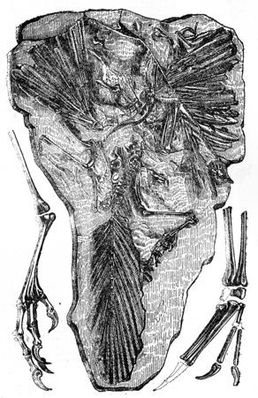 fossils: Fossils of Archaeopteryx found in Jurassic Solnhofen (Bavaria), vintage engraved illustration. Earth before man – 1886.