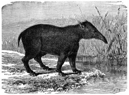 偉大な Paleotherium、始新世期間、ヴィンテージの刻まれた図の哺乳動物の象。男-1886年の前に地球。