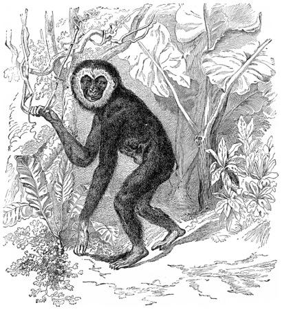 primate biology: Gibbon, vintage engraved illustration. Earth before man – 1886.
