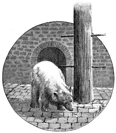 Polar bears, vintage engraved illustration. Paris - Auguste VITU – 1890. illustration