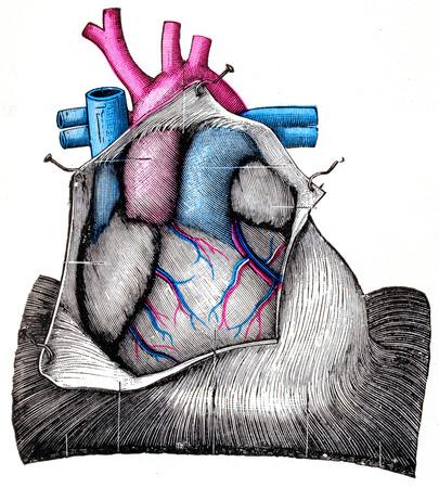 The Heart, vintage gegraveerde illustratie. Stockfoto