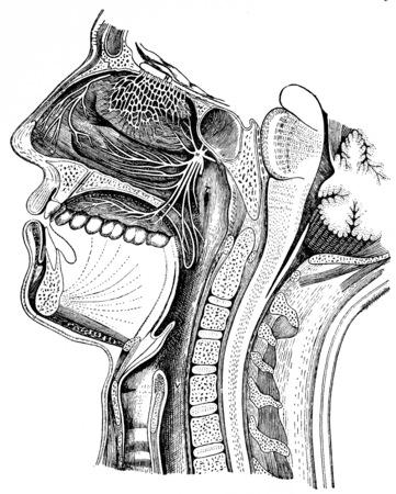 vintage anatomy: Pathway of air, vintage engraved illustration.