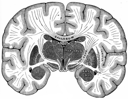 Vertical section of brain, vintage engraved illustration. Фото со стока