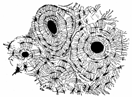 Transverse section of compact tissue (of humerus), magnified about 150 times, vintage engraved illustration. Imagens