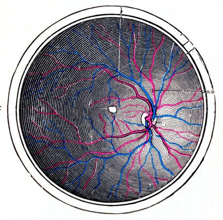 Netvlies van het rechter oog, vintage gegraveerde illustratie. Stockfoto
