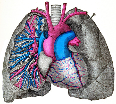 left ventricle: The pulmonary artery and aorta, vintage engraved illustration.
