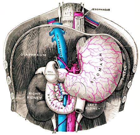 胃と十二指腸、ヴィンテージには図が刻まれています。