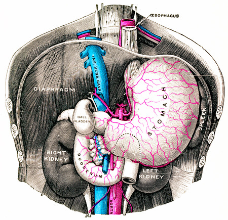 Stomach and duodenum, vintage engraved illustration.