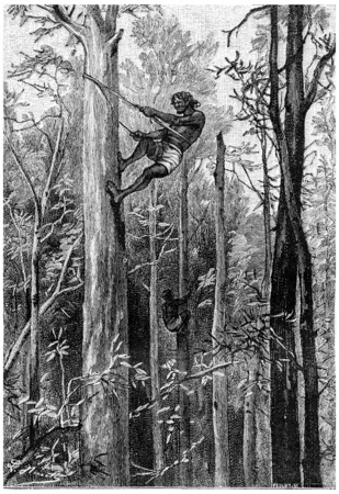 herrin: Keine Gummibäume so groß, sie nicht erreichen die Top, Jahrgang gravierte Darstellung. Jules Verne Herrin Branican 1891.