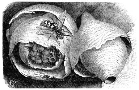 paper wasp: Wasp (paper wasp) and its nest, vintage engraved illustration. La Vie dans la nature, 1890.