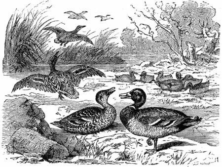 mallard duck: Wild ducks, vintage engraved illustration. From La Vie dans la nature, 1890.