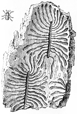 Galleries of bark beetles, vintage engraved illustration. Natural History of Animals, 1880.