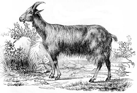 cabras: Cabra, ilustraci�n de la vendimia grabado. Historia Natural de los Animales, 1880.
