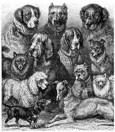 black and white newfoundland dog: Various dogs, vintage engraved illustration. La Vie dans la nature, 1890.