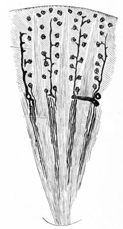 Diagram van de bloedtoevoer naar de nieren, vintage gegraveerde illustratie.