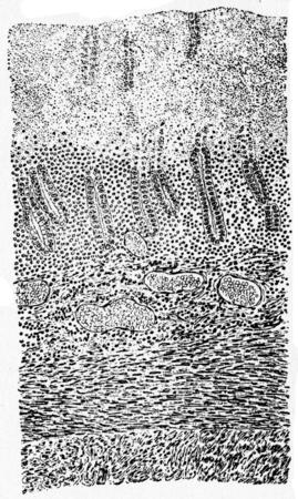Vertical section of mucous membrane, vintage engraved illustration.