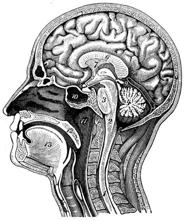 cerebro blanco y negro: Sección longitudinal de la cabeza humana, ilustración de la vendimia grabado. La Vie dans la nature, 1890.