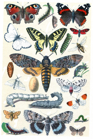 oruga: Leyenda de la Plata XI, ilustración de la vendimia grabado. La Vie dans la nature, 1890.