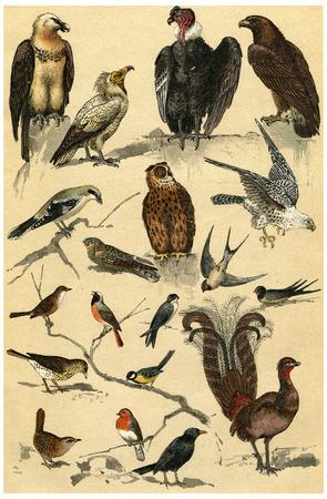 ruiseñor: Leyenda de Plata, ilustración de la vendimia grabado. La Vie dans la nature, 1890.