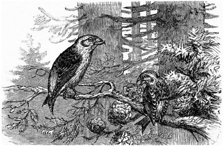 passerine: Crossbill pines, vintage engraved illustration. La Vie dans la nature, 1890.
