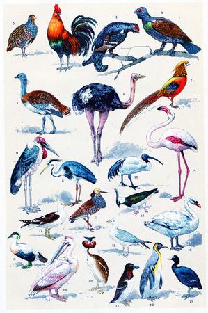 kuropatwa: Legenda Plate, vintage grawerowane ilustracji. La Vie dans la nature, 1890.
