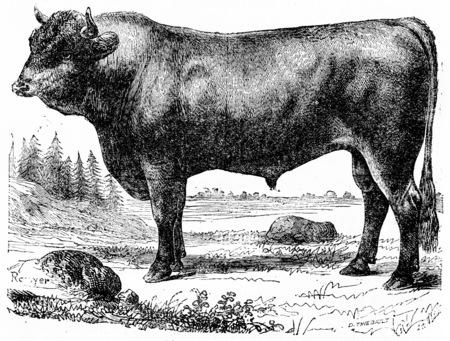 illustration: Taurus, vintage engraved illustration. Natural History of Animals, 1880.