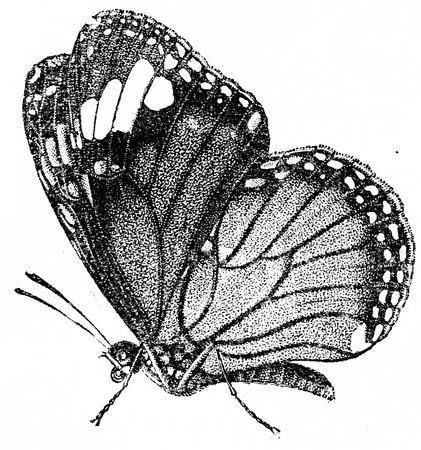 Danaida plexippus, 빈티지 새겨진 그림. 동물의 자연사, 1880. 스톡 콘텐츠