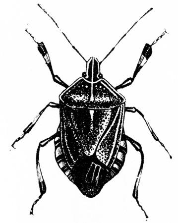pentatomidae: Halys, vintage engraved illustration. Natural History of Animals, 1880.
