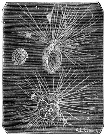ameba: Foraminifera, vintage engraved illustration. Natural History of Animals, 1880.