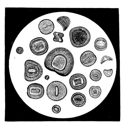 unicellular: Various forms of diatoms, vintage engraved illustration. Earth before man – 1886.