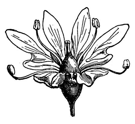 koriander: Virág koriander, vintage vésett ábra. Föld, mielőtt az ember - 1886.