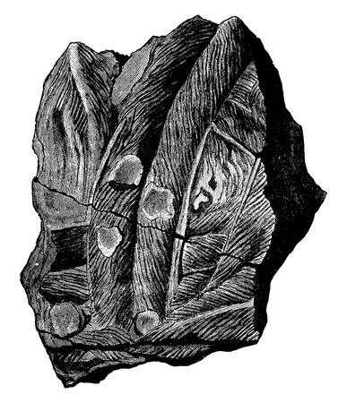 Issues organizations Bilobites ancient seas, vintage engraved illustration. Earth before man – 1886.