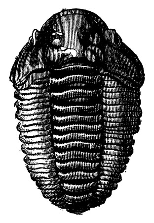 The king of primordial seas, Trilobite Calymene, vintage engraved illustration. Earth before man – 1886. Illustration