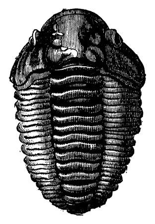 The king of primordial seas, Trilobite Calymene, vintage engraved illustration. Earth before man – 1886. Ilustração
