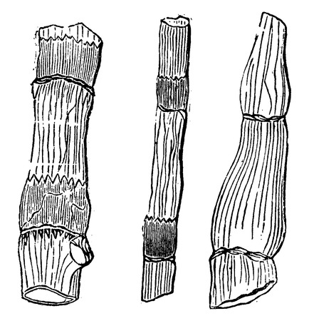 horsetail: Fossil remains of primitive plants, Equisetaceae of the Devonian period, vintage engraved illustration. Earth before man – 1886.