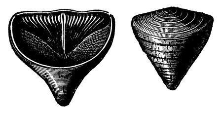 molluscs: Molluscs brachiopods of the Devonian period. Calceola Sandalina, vintage engraved illustration. Earth before man – 1886. Illustration