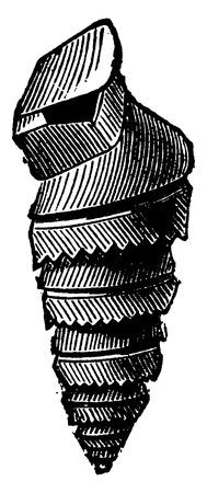 molluscs: Pteropod molluscs of the Devonian period, Murchisonia intermedia, vintage engraved illustration. Earth before man – 1886. Illustration