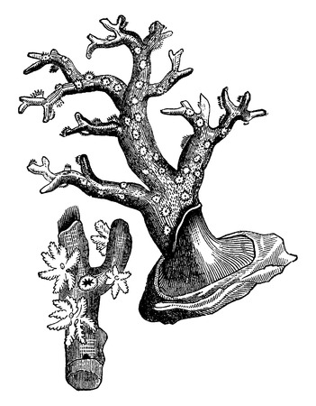 hydrozoa: Coral polyp, vintage engraved illustration. Earth before man – 1886.
