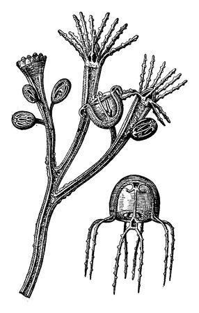 detached: Medusas Formaci�n 1. La crianza de un p�lipo medusas lleva varios estados de desarrollo. 2. Medusa extra�do, ilustraci�n de la vendimia grabado. Tierra antes que el hombre - 1886. Vectores